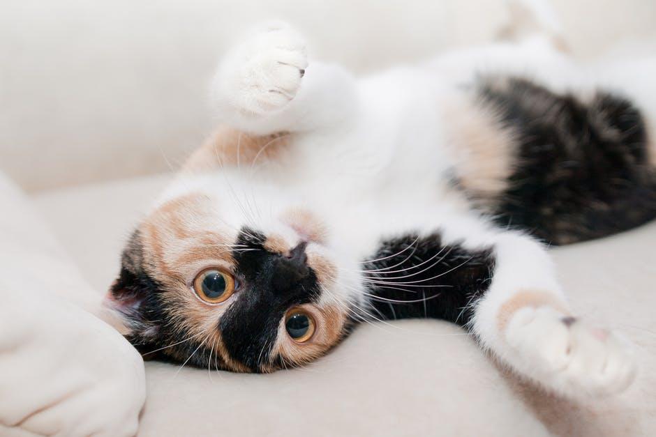 Comment élever un petit chaton ?